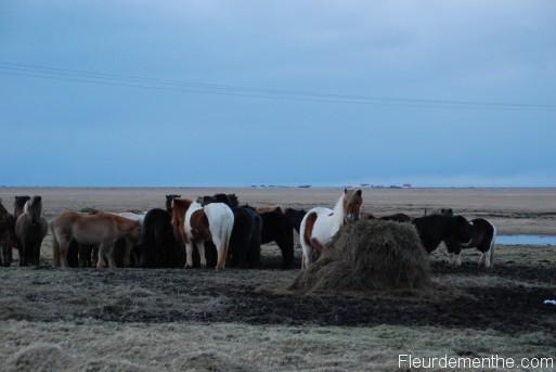 chevaux islande
