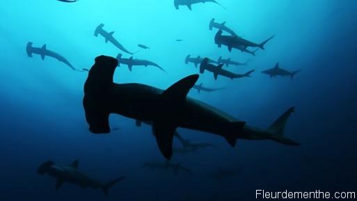 galapagos requins