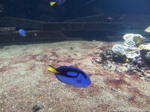 poisson bleu nausicaa